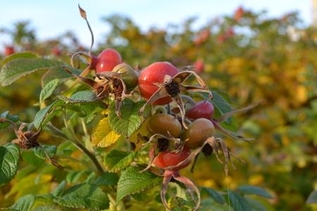 barbs: rosehip in the fall