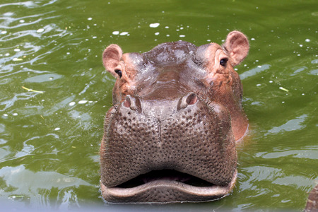 mimicry: Hippo on safari opened its mouth and hungry