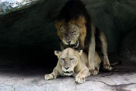 cubs: Lion and lioness cubs do