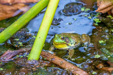 American bullfrog (Lithobates catesbeianus). Beaver Marsh. Cuyahoga Valley National Park. Ohio. USA Stock fotó