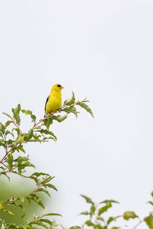 Male American goldfinch in the Beaver Marsh. Cuyahoga Valley National Park. Ohio. USA Stock Photo