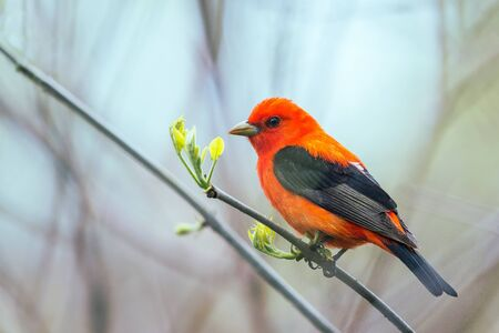 Male Scarlet Tanager (Piranga olivacea) in breeding plumage. Oak Harbor. Magee Marsh Wildlife Area. Ohio. USA