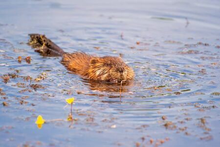 North American beaver (Castor canadensis) swimming in the pond.Beaver marsh. Cuyahoga Valley National Park. Ohio. USA