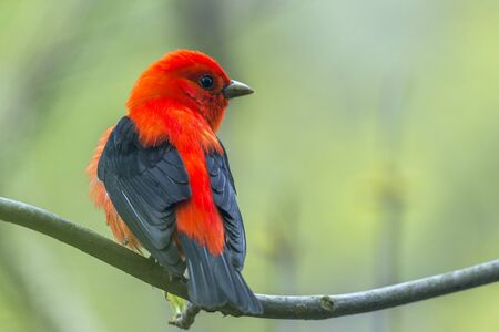 Male Scarlet Tanager (Piranga olivacea) in breeding plumage. Magee Marsh Wildlife Area. Ohio. USA  Stok Fotoğraf
