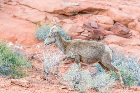 Female Desert Bighorn Sheep (Ovis canadensis nelsoni) in Valley of Fire State Park. Nevada.  USA 写真素材