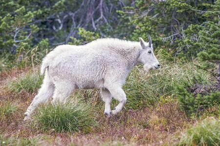 Mountain Goat (Oreamnos americanus). Hidden Lake Trail. Glacier National Park. Montana. USA