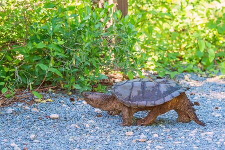 A common snapping turtle (Chelydra serpentina) walking along the road. Bombay Hook National Wildlife Refuge. Delaware. USA Banco de Imagens