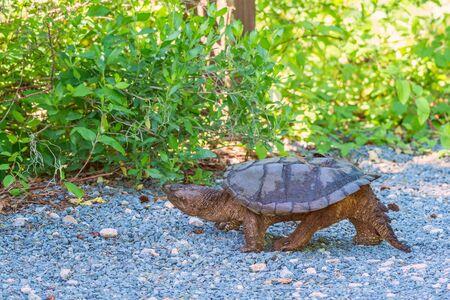 Une tortue serpentine commune (Chelydra serpentina) marchant le long de la route. Réserve faunique nationale de Bombay Hook. Delaware. Etats-Unis Banque d'images