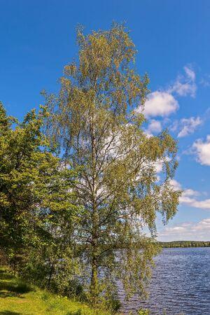 The birch tree on the bank of Vuoksi river near the city of Imatra. Finland Reklamní fotografie