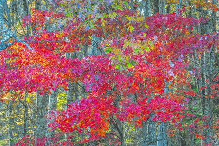 Colorful tree in autumn season. Shenandoah National Park. Virginia. USA