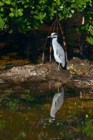 Yellow-crowned night heron (Nyctanassa violacea) resting resting on one leg in J.N.