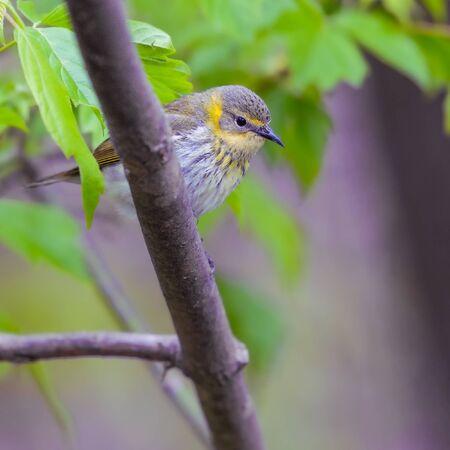 Female Cape May warbler (Setophaga tigrina). Oak Harbor. Magee Marsh Wildlife Area. Ohio. USA