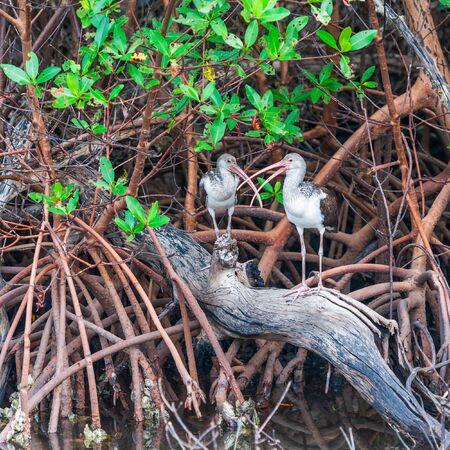 Pair of juvenile American White Ibises (Eudocimus albus) sitting in mangroves. J.N. Ding Darling National Wildlife Refuge. Sanibel Island. Florida. USA