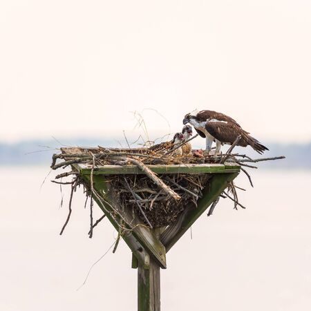 Osprey (Pandion haliaetus) feeding its chicks with scraps of fish in a man-made nest. Blackwater National wildlife refuge. Maryland. USA