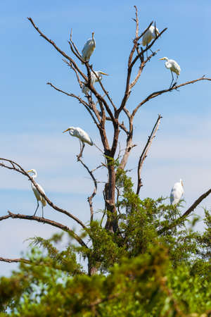 Group of Great Egrets (Ardea alba) sitting on branches of a dead tree. Bombay Hook National Wildlife Refuge. Delaware. USA