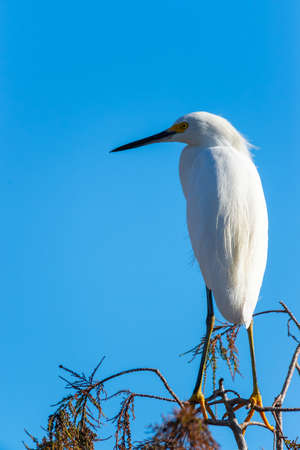 Snowy Egret (Egretta thula) sitting on tree. Mahogany Hammock Road. Everglades National Park. Florida. USA