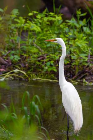 Great Egret (Ardea alba) in breeding plumage. Bombay Hook National Wildlife Refuge. Delaware. USA