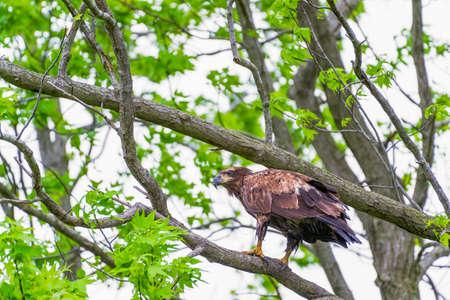 Juvenile Bald Eagle (Haliaeetus leucocephalus) sitting on a tree branch. Bombey Hook National Wildlife Refuge. Delaware. USA