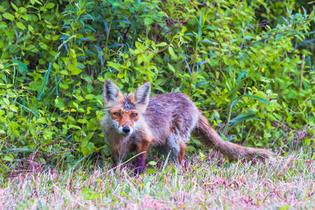 Juvenile Eastern American Red Fox (Vulpes vulpes fulvus) in Bombay Hook National Wildlife Refuge. Delaware. USA