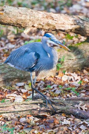 Great Blue Heron (Ardea herodias) walking in the Chesapeake and Ohio Canal National Historical Park. Maryland. USA