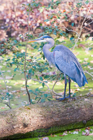 Great Blue Heron (Ardea herodias) standing on a fallen tree in the Chesapeake and Ohio National Historical Park. Maryland. USA
