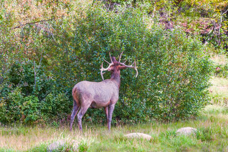 Dirty Male Elk or Wapity (Cervus canadensis)  eating leaves. Jasper National Park. Canadian Rockies. Alberta. Canada