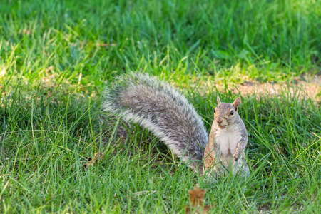 Eastern gray squirrel (Sciurus carolinensis) eating on the lawn. Portland. Maine. USA 版權商用圖片