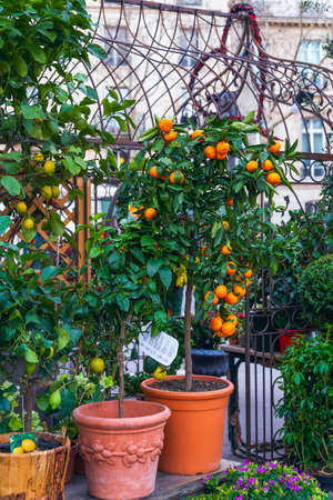 Orange and lemon trees with fruits in flower pots for home decoration 版權商用圖片