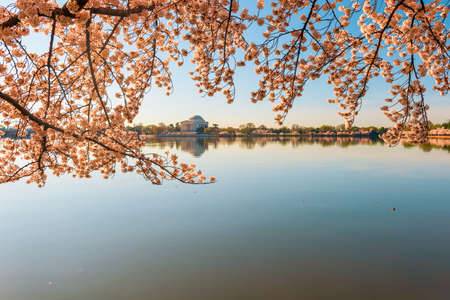 Tidal Basin and Jefferson Memorial during National Cherry Blossom Festival. Washington. DC. USA