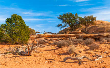 Dead and live trees along of the Pothole Point trail. Canyonlands National Park. Utah. USA