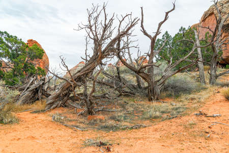 Group of dead trees along the Devils Garden Trail. Arches National Park. Utah. USA