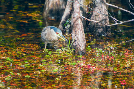 Black-crowned night heron (Nycticorax nycticorax) with prey in its beak. Big Cypress National Preserve. Florida. USA