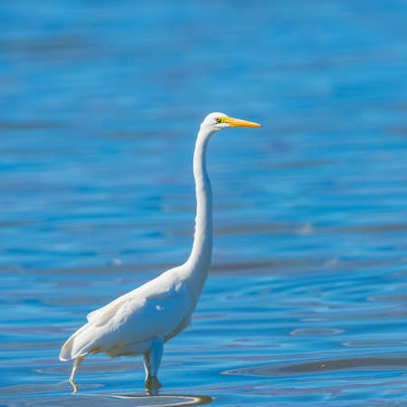 Great Egret (Ardea alba) posing erect with Salton Sea waters in background. California. USA