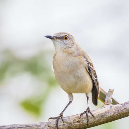 Northern mockingbird (Mimus polyglottos) sitting on tree branch. Anhinga trail. Everglades National Park. Florida. USA