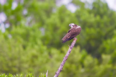 Osprey (Pandion haliaetus) sitting on a tree branch at Flamingo Campground. Everglades National Park. Florida. USA 版權商用圖片