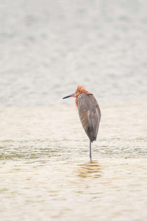 Reddish egret (Egretta rufescens) resting on one leg in J.N. Ding Darling National Wildlife Refuge. Sanibel island. Florida. USA 版權商用圖片