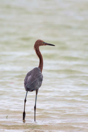 Reddish egret (Egretta rufescens) standing on the beach.