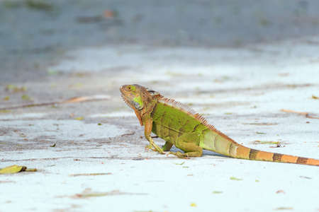 Green iguana (Iguana iguana) crossing a road in J.N.