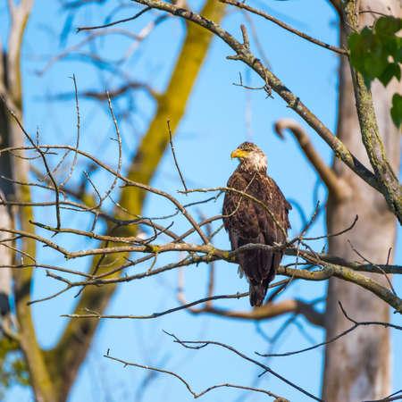 Juvenile Bald Eagle sitting on a tree branch. Ottawa National Wildlife Refuge. Ohio. USA