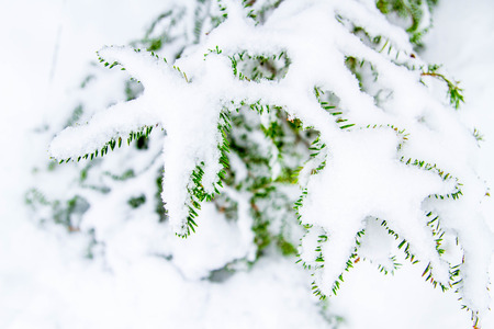 coldly: branches of the spruce in the snow Stock Photo