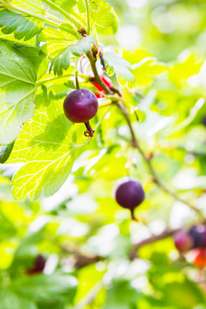 gooseberry bush: Red gooseberry grows on a Bush