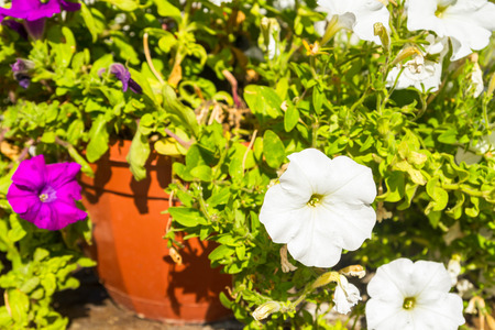 petunias: Flowering petunias in a pot outside in the summer