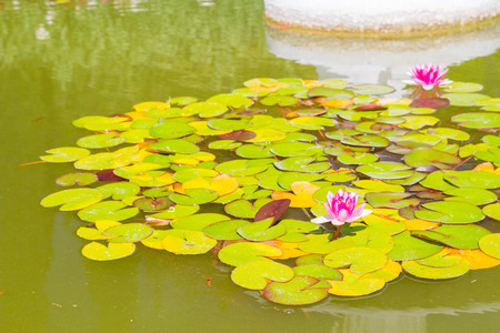 water lilies: Pink water lilies in a pond