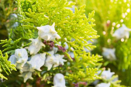 Green arborvitae tree shrub with cones