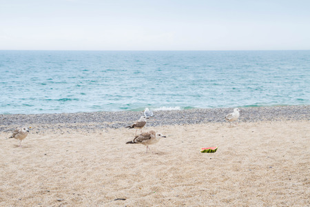 Birds albatrosses eat watermelon on the seafront Stock Photo