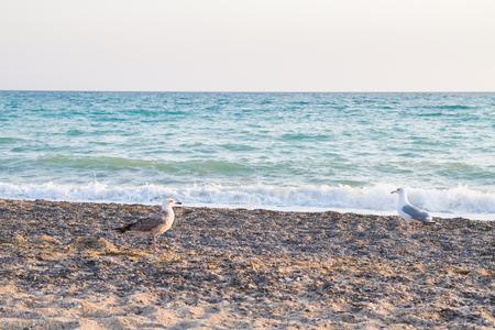 Bird Albatross on the sandy beach in the summer  at sunset Stock Photo