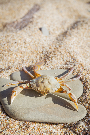 Live crab sitting on a flat stone on the beach Stock Photo