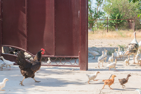 Turkey and other poultry walks around the yard in the summer