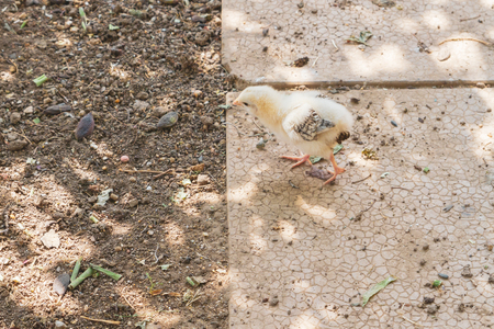 A small chicken walking on the village yard