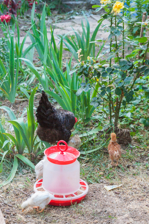 Little Turkey and other poultry walks around the yard in the summer Stock Photo